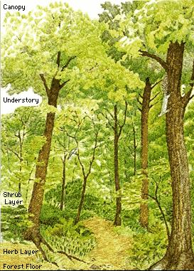 THE STRUCTURE OF FORESTS | CANOPY UNDERSTORY SHRUB LAYER HERB LAYER AND FOREST FLOOR   sc 1 st  irwantoshut.com & THE STRUCTURE OF FORESTS | CANOPY UNDERSTORY SHRUB LAYER HERB ...