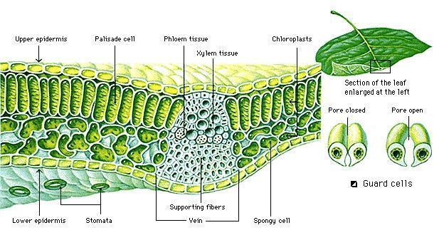 leaf tissue