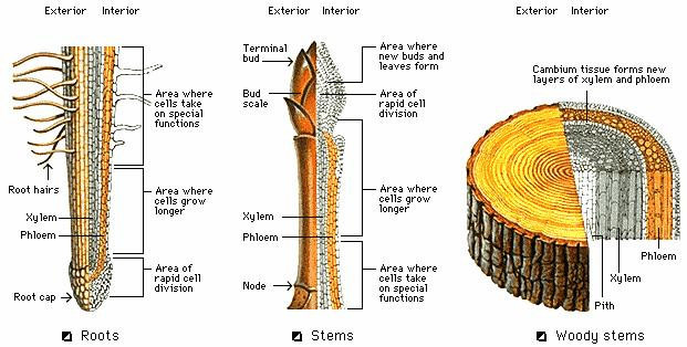 1 the xylem 2 the cambium 3 the